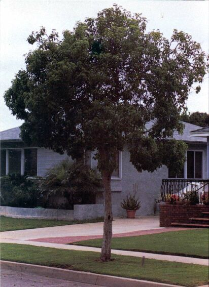 Queensland Pittosporum
